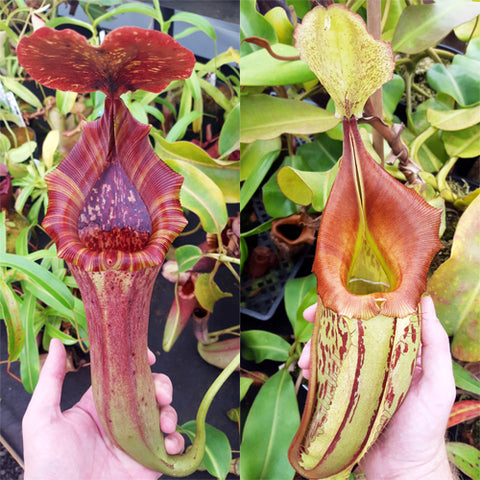 Nepenthes Lovely Tapestry