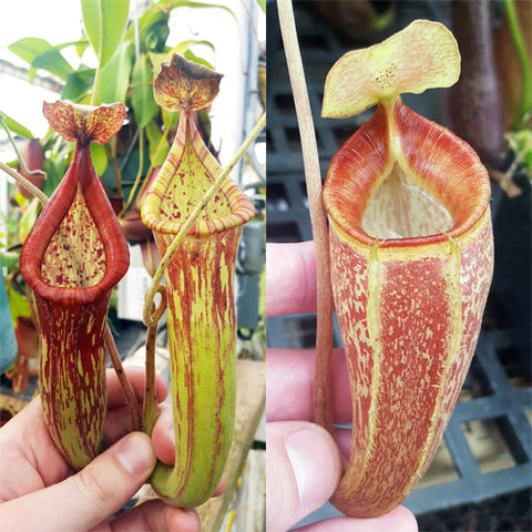 Nepenthes Righteous Triumph