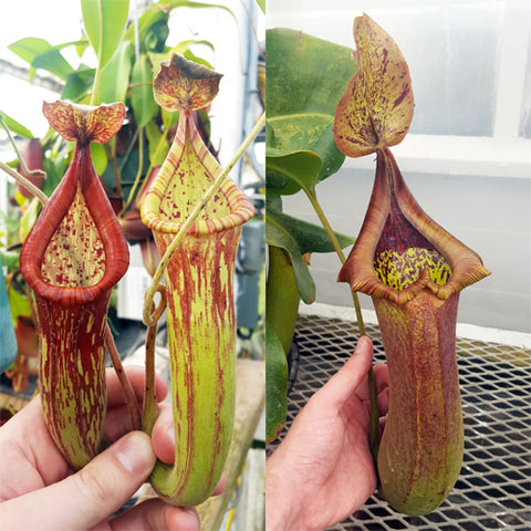 Nepenthes Righteous Tyrant