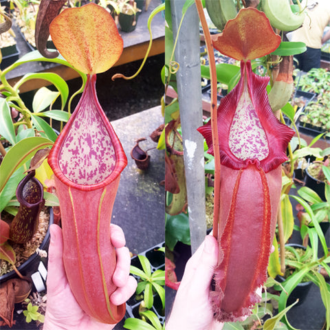 Nepenthes Secret Doom