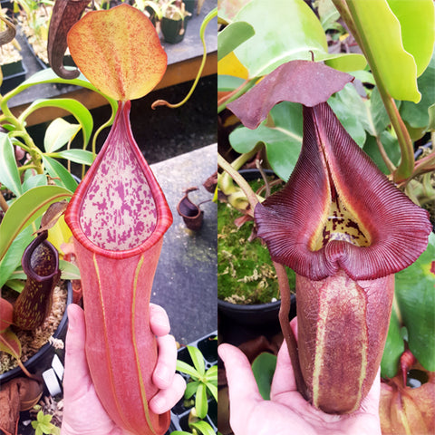 Nepenthes Secret Rampage