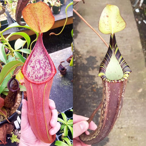 Nepenthes Secret Sin