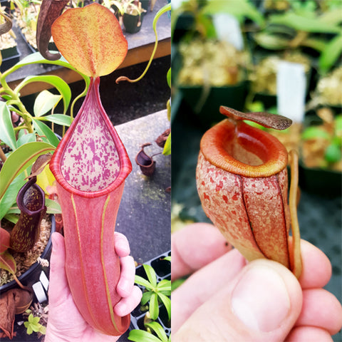 Nepenthes Secret Twinkle