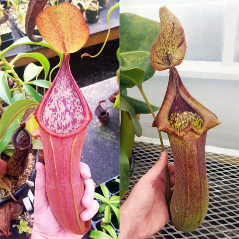 Nepenthes Secret Tyrant