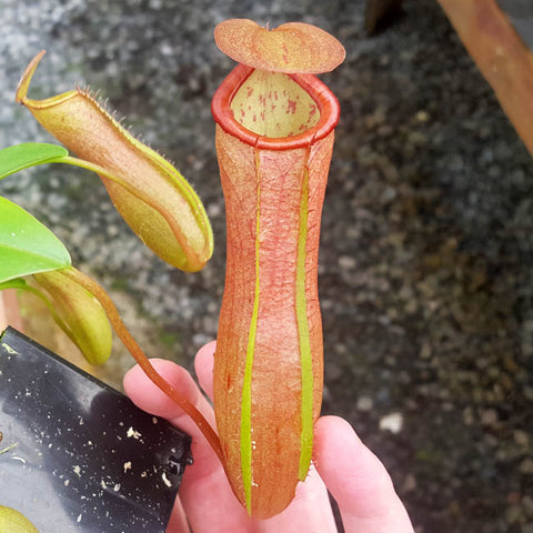 Nepenthes Secret Victory