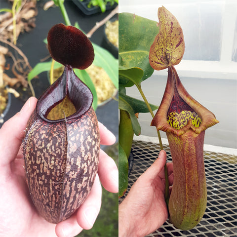 Nepenthes Sinister Tyrant