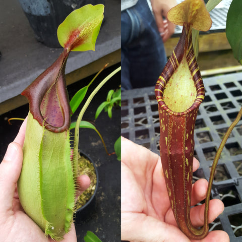 Nepenthes Stoic Savior