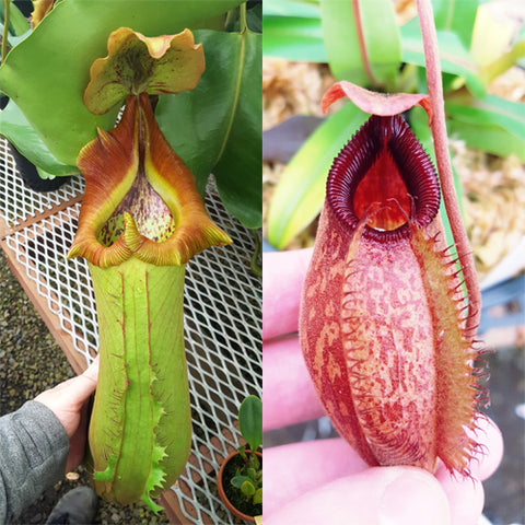Nepenthes Titanic Anger