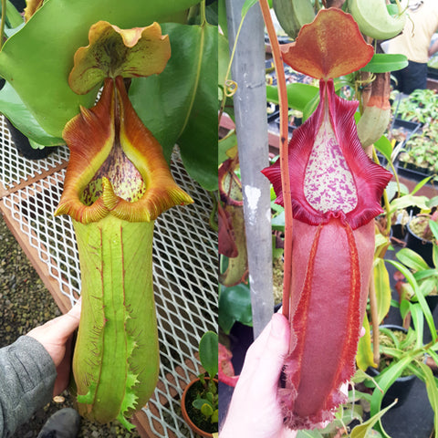 Nepenthes Titanic Doom