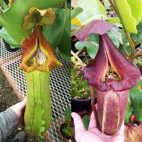 Nepenthes Titanic Rampage