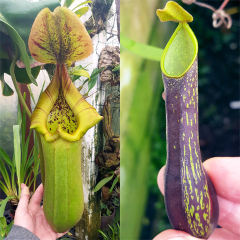 Nepenthes Torrential Monsoon