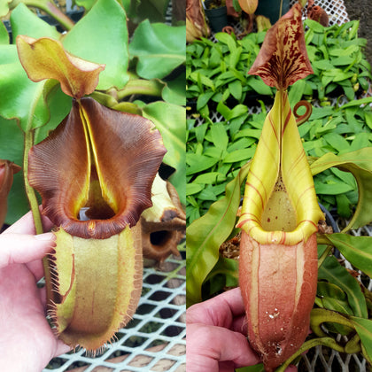 Nepenthes veitchii - Seed-grown - N. Valiant Voyage