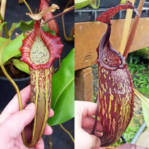 Nepenthes Vivid Machine