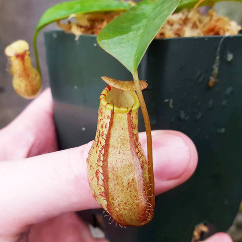 Nepenthes Virtuous Lust