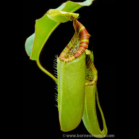 Nepenthes chaniana x veitchii