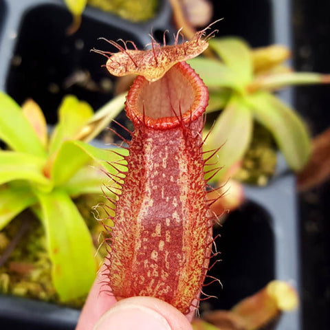 Nepenthes spectabilis x hamata - Small