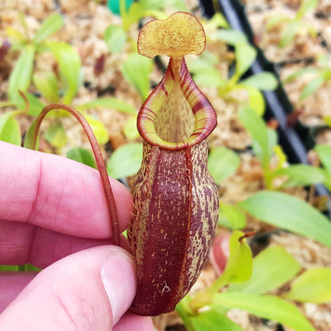 Nepenthes spectabilis x talangensis