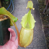 "Nepenthes veitchii ""Bario"" - Huge Specimen - Stunning Bronze Pitchers"