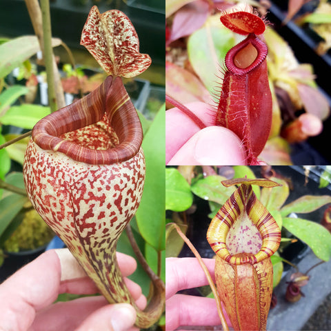 Premium Nepenthes Grab-Bag