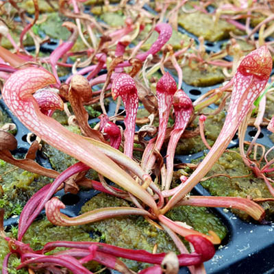 "Sarracenia x formosa ""Okee Monster"""