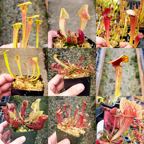 Dormant Sarracenia Grab-Bag