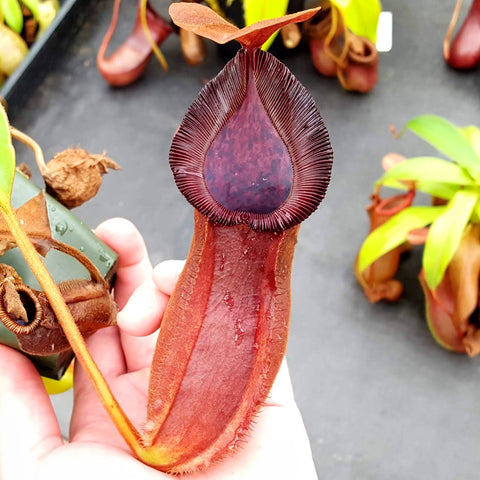 Nepenthes Titanic Silence
