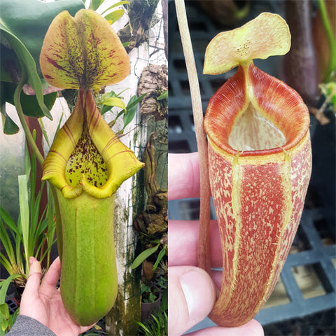 Nepenthes Torrential Triumph