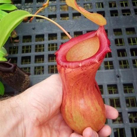 "Nepenthes ventricosa ""Red"" - Medium"