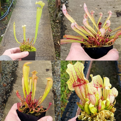 Bulk Mixed American Pitcher Plants (Sarracenia) - 20 ct.
