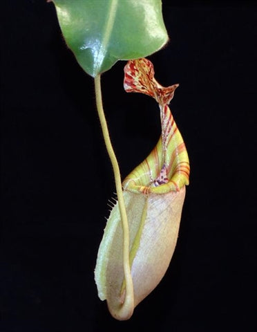 Nepenthes burbidgeae x veitchii