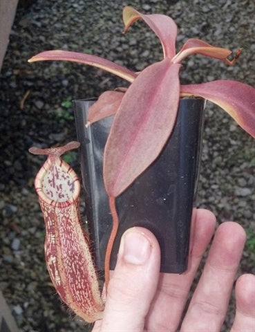 Nepenthes maxima x spectabilis - Small/Medium