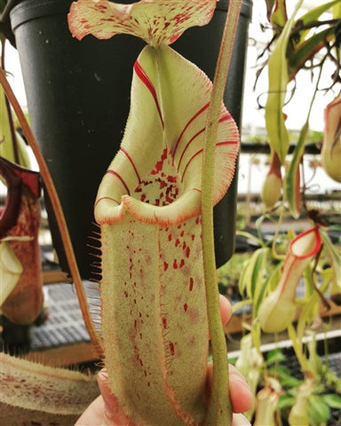 Nepenthes robcantleyi x burbidgeae - Small/Medium
