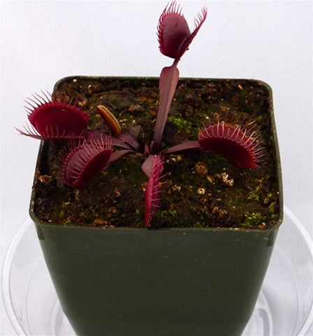 Venus Flytrap 'Red Dragon' - Medium/Large