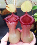 Seed-grown Nepenthes ventricosa - N. Virtue's Victory - Small