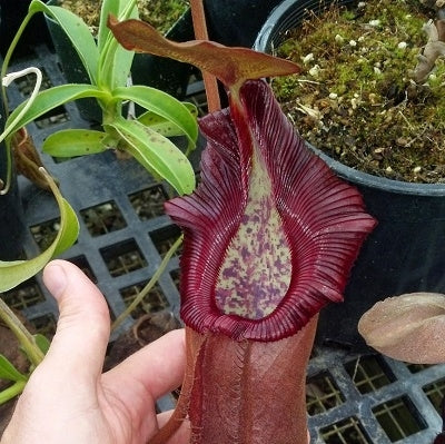 Nepenthes densiflora x robcantleyi - Medium