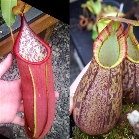 Nepenthes Secret Lust