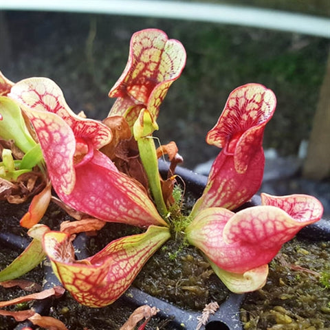 "Sarracenia purpurea ssp. venosa ""Old Dock, NC"" - Small"