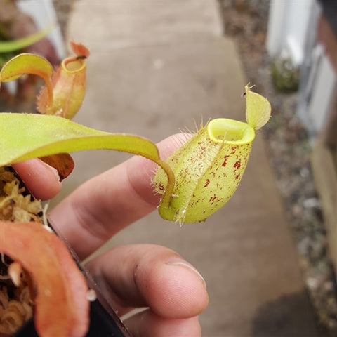 "Nepenthes ampullaria ""Brunei Red Speckled"" - Small"