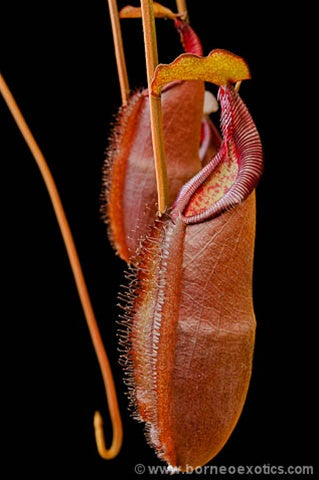 Nepenthes densiflora - Small