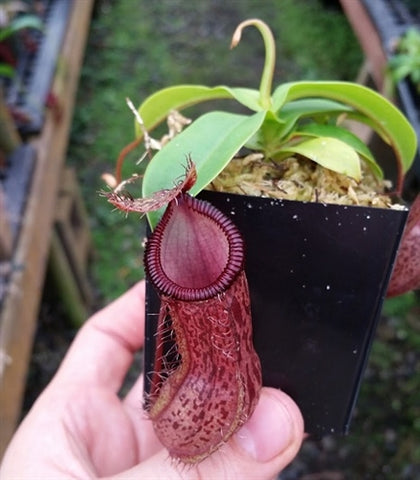 Nepenthes burkei x hamata - Small