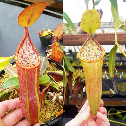 "Nepenthes ""Secret"" female - N. sanguinea ""red"" - Small Cutting"