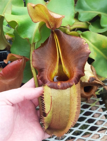 "Nepenthes veitchii ""Bario"" - Small"