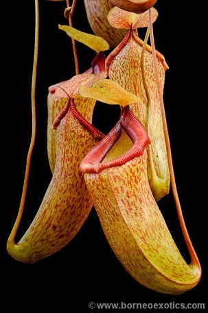 Nepenthes ventricosa x talangensis - Small