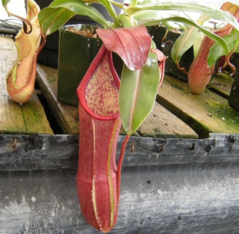 Nepenthes sanguinea - Large