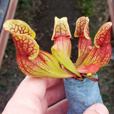Sarracenia purpurea ssp. purpurea New Jersey - Small
