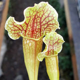 Sarracenia x mitchelliana - Small