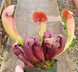 Sarracenia x swaniana - Small/Medium