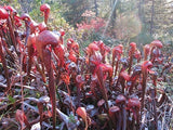 "Darlingtonia californica ""Red"""