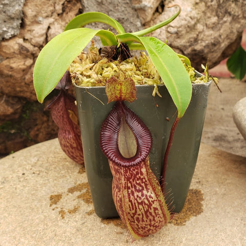 "Nepenthes talangensis x hamata ""Heart of Darkness"""