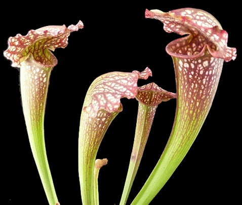 Sarracenia 'Mardi Gras' - Medium